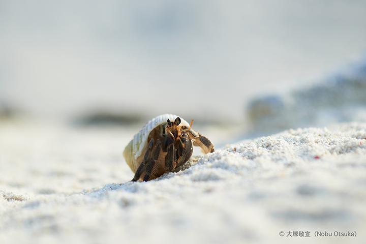 Hermit crab_4