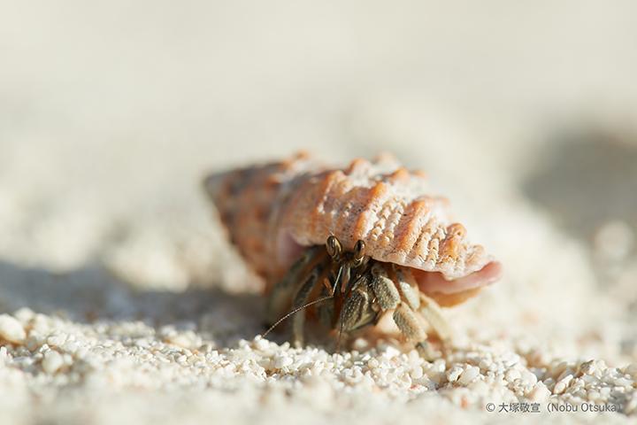 Hermit crab_5